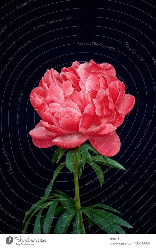 üppig | Eine leuchtend pinkfarbene Pfingstrose in voller Blüte isoliert vor schwarzem Hintergrund. volle Blüte prachtvoll üppig (Wuchs) schön prachtexemplar
