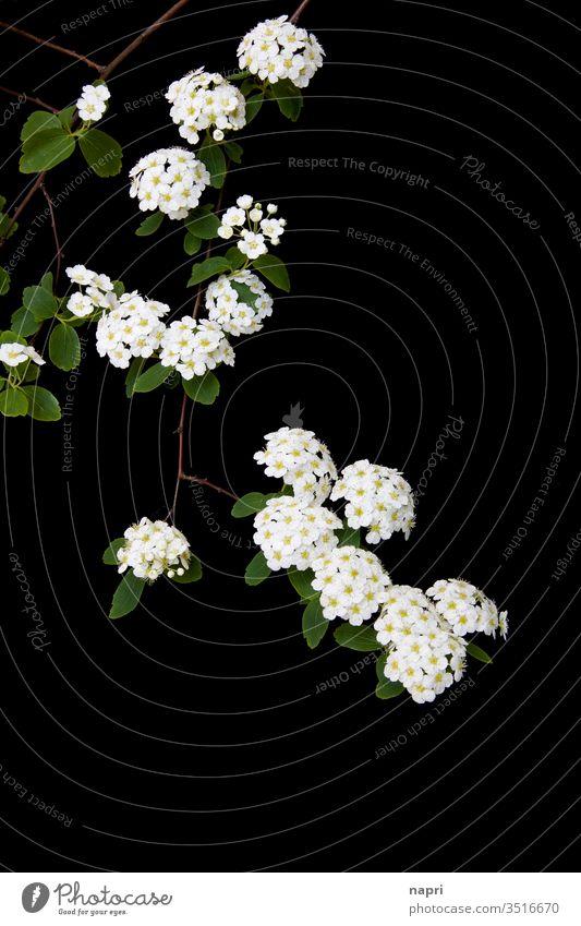 fragil | Zweig einer Prachtspiere mit weißen Blüten isoliert vor schwarzem Hintergrund. zart blühend Natur Strauch verzweigt Pflanze Zierpflanze Wachstum