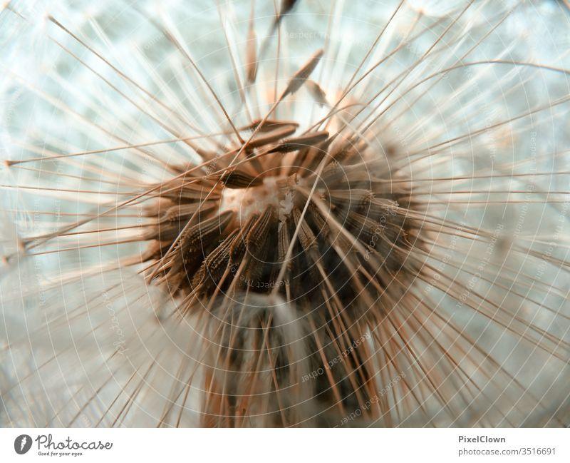 Makroaufnahme einer Pusteblume Löwenzahn Blume Natur Außenaufnahme Wiese Nahaufnahme Pflanze Garten