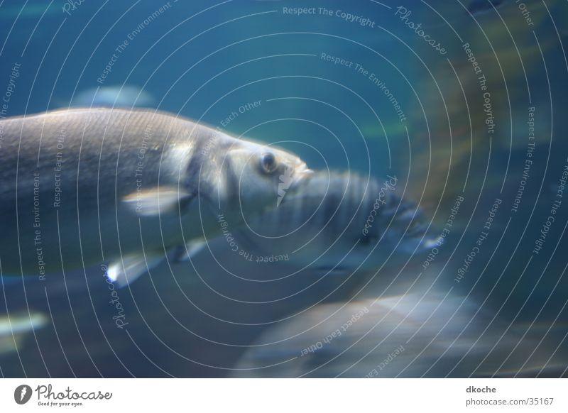 Fisch in Motion Meer Verkehr Bewegung Wasser blau
