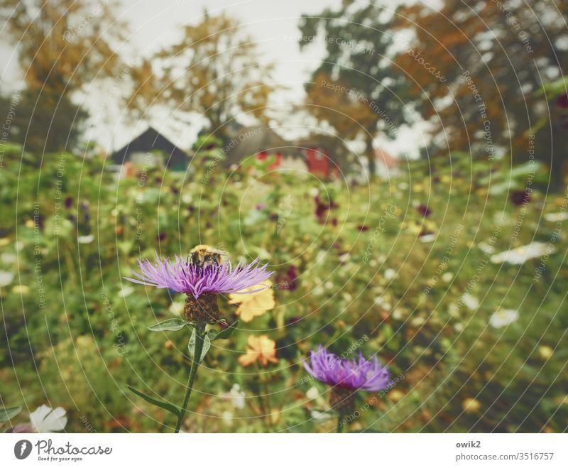Kornblumen Wiese Blumen Blumenwiese Insekt Biebe Bestäubung Natur Herbst Bäume Häuser Dorf Dierhagen Ostsee Blüte Pflanze Farbfoto Außenaufnahme grün Garten