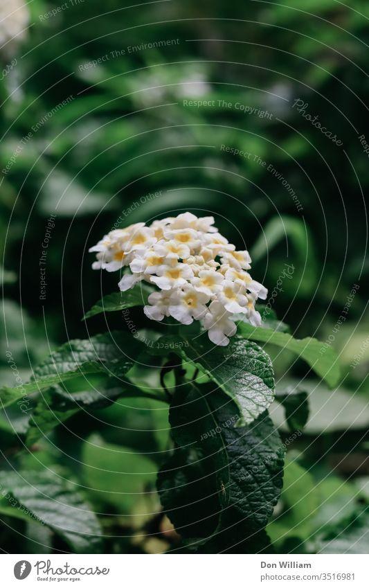 Weiß mit gelben Blumen Blätter Pflanze Natur Blüte Blatt Nahaufnahme Makroaufnahme weiß grün Außenaufnahme