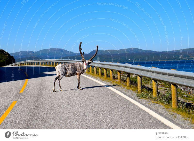 Reindeer-Hello in Skandinavien Lifestyle Stil Ferien & Urlaub & Reisen Tourismus Ausflug Abenteuer Sommer Meer Tier Rentier hängen Blick lustig Neugier blau