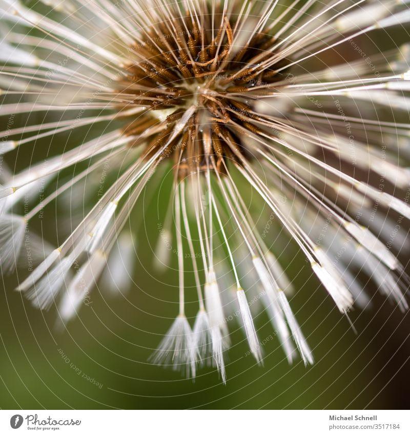 Nahaufnahme einer Pusteblume Löwenzahn Blume Makroaufnahme Pflanze Samen Außenaufnahme Frühling Natur Detailaufnahme