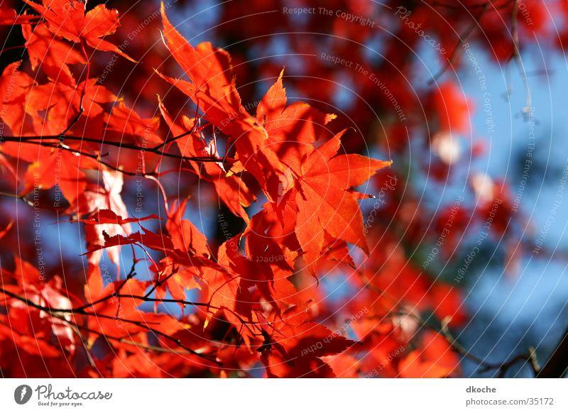 Herbstflammen Natur Baum rot Blatt Stimmung
