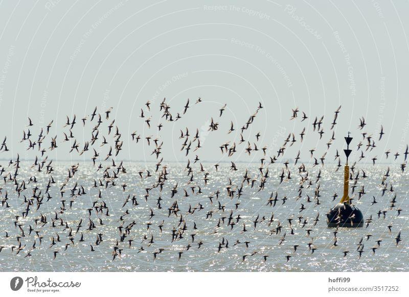 Boje und Vogelschwarm im Sonnenlicht an der Küste Seezeichen Fahrrinne Schifffahrt alpenstrandläufer seevogel Seevögel Schwarm fliegen Himmel Seevogel Tier