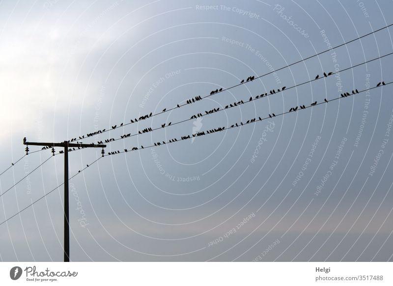 viele Stare rasten im Gegenlicht auf mehreren Stromleitungen Vögel Zugvogel Vogelzug Schwarm Tier Himmel Vogelschwarm Natur Umwelt Außenaufnahme Menschenleer