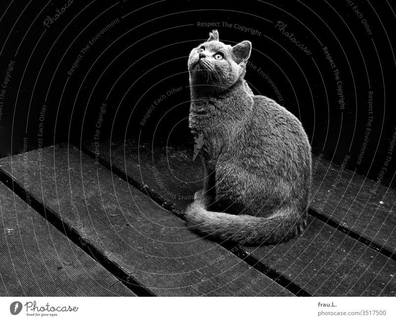 Noch blickt der junge Kartäuserkater staunend in die Welt seines Hinterhofreviers. Kater Tier Haustier Außenaufnahme Hauskatze Tierporträt Stadt