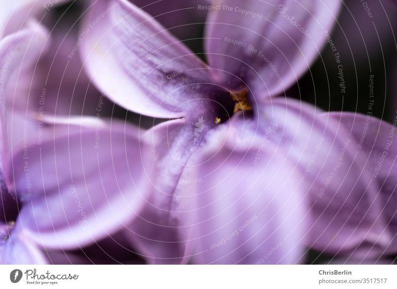 Nahaufnahme von lila Fliederblüte Blüte Pflanze Blume Natur Frühling violett Blühend Schwache Tiefenschärfe Farbfoto Außenaufnahme Detailaufnahme Makroaufnahme