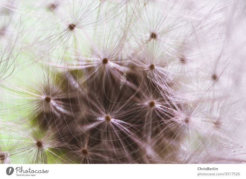 Nahaufnahme einer Pusteblume Butterblume verblüht Natur Löwenzahn Blume Farbfoto Außenaufnahme Makroaufnahme Frühling Samen Detailaufnahme