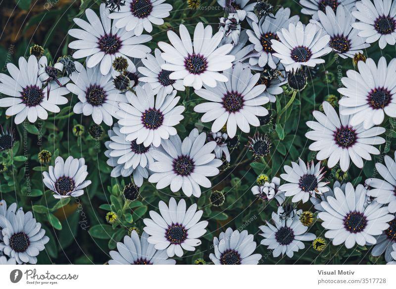 Blüten der Osteospermum 'soprano white', allgemein bekannt als afrikanisches Gänseblümchen oder Cape Daisy Blumen Blütezeit botanisch Botanik Knospen Flora