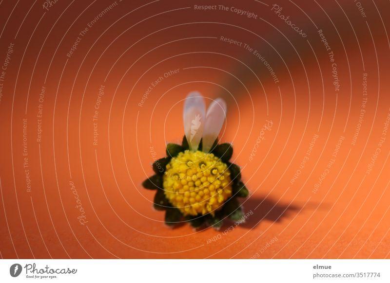 zwei Blütenblätter an einem Gänseblümchen in Form von zwei Hasenohren vor orangefarbenem Hintergrund Ohr Blütenblatt Osterhase zupfen weiß gelb leer Bellis
