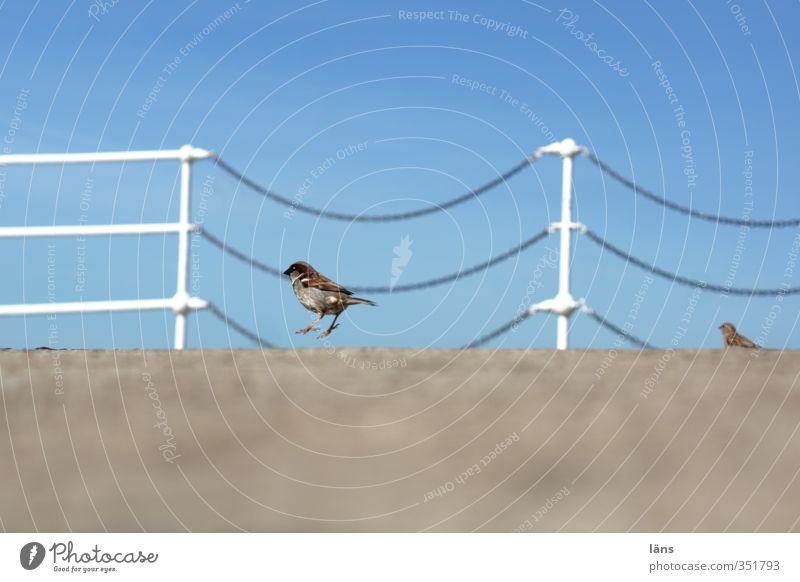 Ring frei... Himmel blau Tier Bewegung grau springen Vogel Wildtier Beton Geländer Brückengeländer Kette hüpfen Spatz
