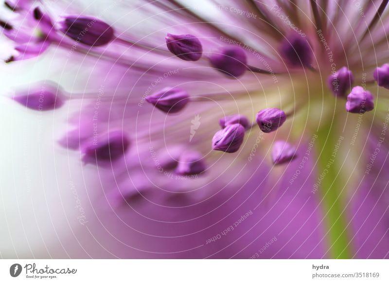 magenta Zierlauch Blüten Knospen mit geringer Tiefenschärfe Allium Allium rosenbachianum Zwiebellauch liliacea Liliengewächse Blütenknospen Blume Kitsch Garten