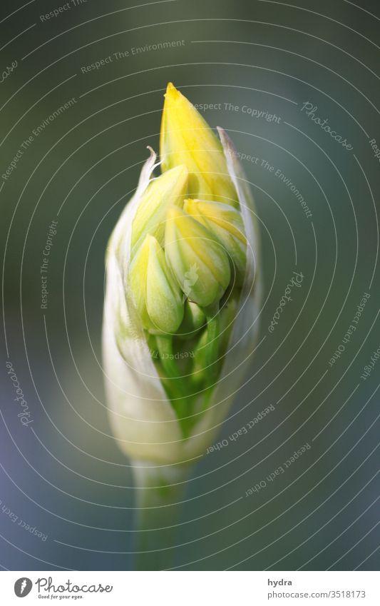 gelbe Goldlauch (Allium) Knospe kurz vor der Blüte Zierlauch Zwiebellauch Liliengewächse liliacea Blume Blütenknospen schön rein erblühen nah Garten ästhetisch
