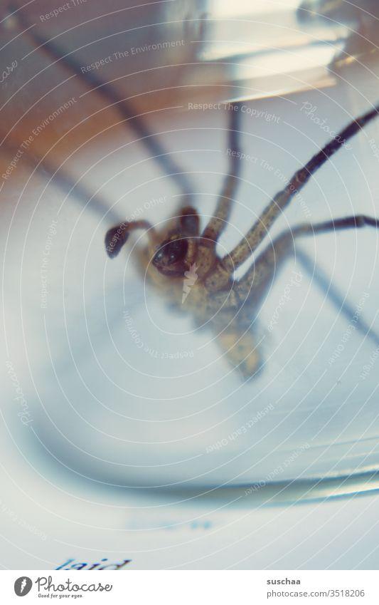 spinne am rand eines glasgefäßes Spinne eklig Phobie gruselig Arachnophobie Spinnentier Spinnenbeine Angst Ekel krabbeln bedrohlich gefangen durchsichtig
