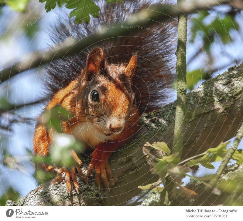 Neugieriges Eichhörnchen Sciurus vulgaris Tiergesicht Kopf Auge Nase Ohr Maul Krallen Fell Nagetiere Wildtier Natur Baum Blatt Sonnenlicht Schönes Wetter nah