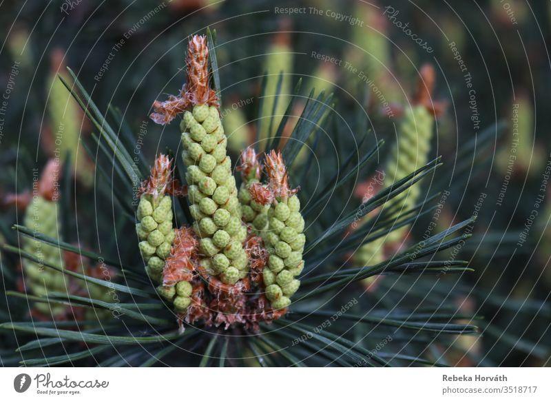Frühlingssprossen einer Kiefer im Wald. Tanne Immergrün Baum sprießen Sprossen Wachstum Natur Tannennadel Außenaufnahme Pflanze Farbfoto Umwelt Nadelbaum