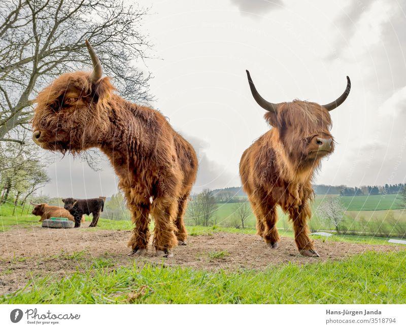 Schottische Hochlandrinder auf einer weide bulle ochse milch kyloe gehörnt langhaaarig fleisch vieh wiese robust viehzucht landleben portrait tier säugetier
