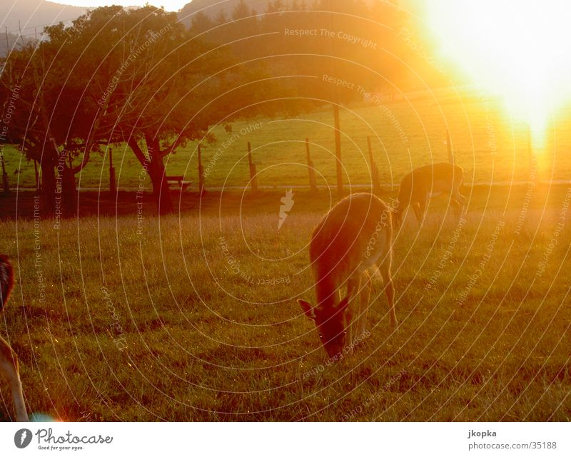 Reh am Morgen Sonne Natur Tier Sonnenlicht Baum Wiese Feld Wildtier 2 beobachten Farbfoto Außenaufnahme Menschenleer Morgendämmerung Gegenlicht Ernährung