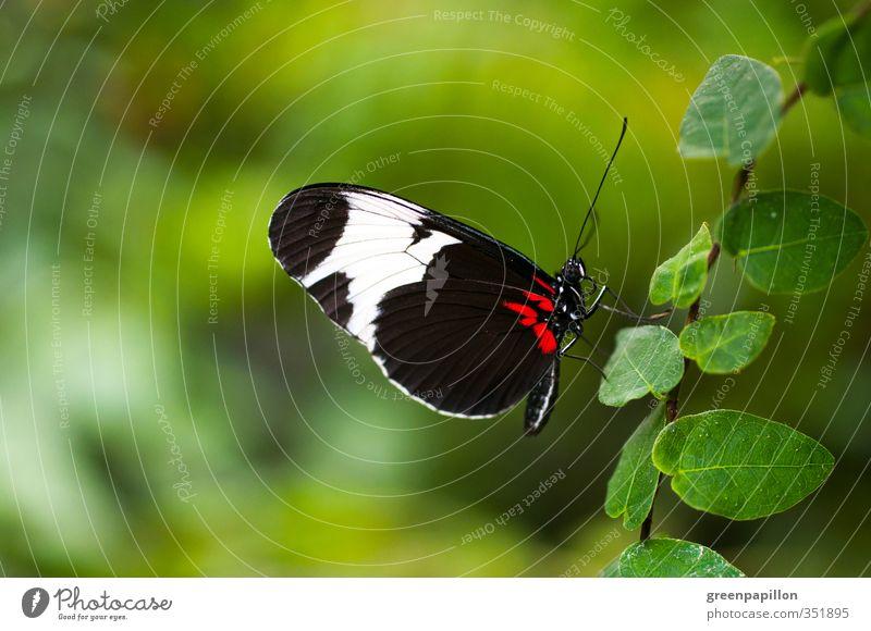 Die Blätterleiter nach oben - Blauer Passionsfalter Umwelt Sommer Pflanze Blatt Grünpflanze Garten Urwald Schmetterling Flügel Schuppen Zoo grün rot schwarz