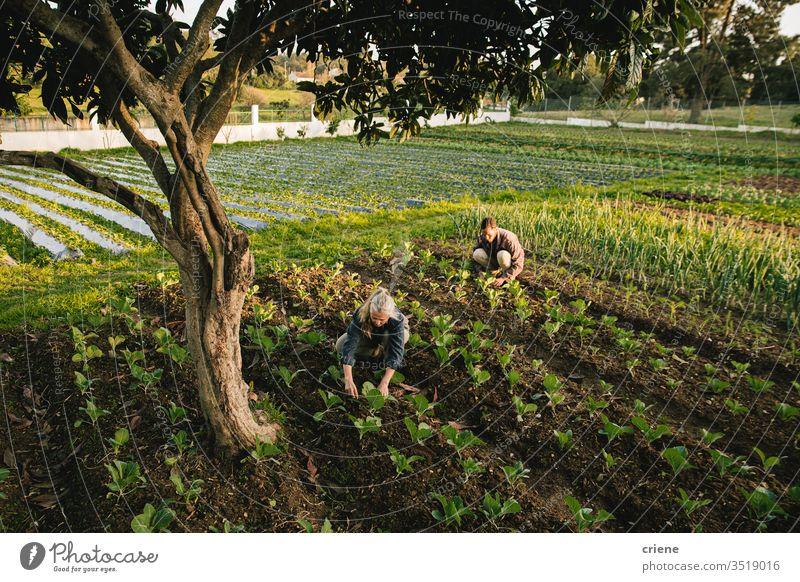 Landarbeiter bei der Kontrolle von Gemüse auf dem Feld Zusammensein nachhaltig Frau produzieren frisch Garten Landwirt Natur grün Ernte organisch Mann Bauernhof