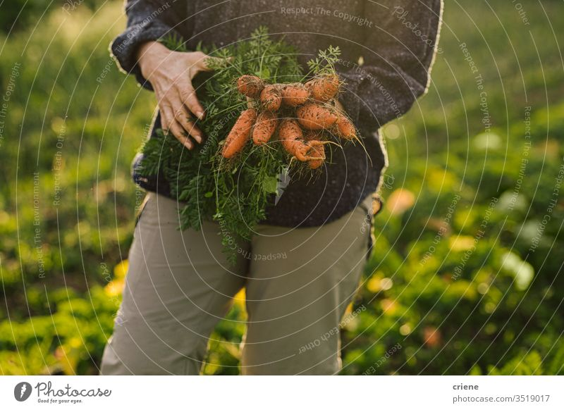 Nahaufnahme einer Frau mit frisch gepflückten Bio-Carrtos aus dem Garten Schmutz hausgemacht Markt Haufen lokal Bodenbearbeitung produzieren Ernten Karotten