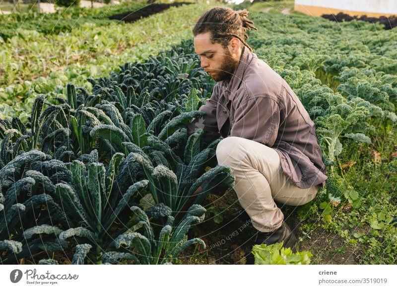 Junger Mann pflückt oragnisch gesunden Grünkohl vom Feld Blätter Salatbeilage Business Landwirtschaft Kasten kultivieren Frische Gärtner Männer arbeiten Ernten