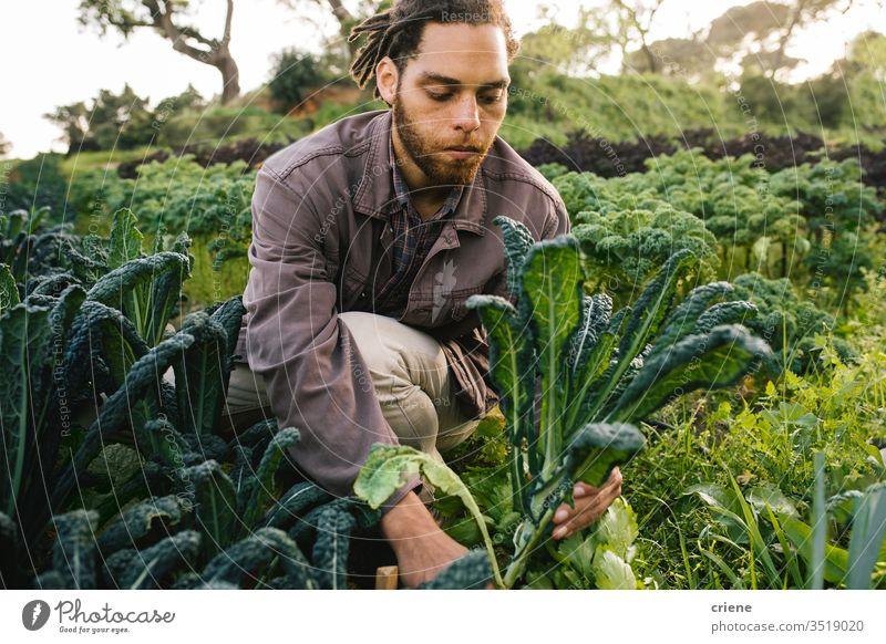 Landwirt pflückt frischen Bio-Kohl vom Feld Blätter Salatbeilage Business Landwirtschaft Kasten kultivieren Frische Gärtner Männer arbeiten Ernten Beruf Umwelt