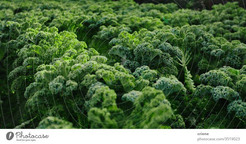 Nahaufnahme von frischem Bio-Kohl auf dem Feld Schwarzkohl belaubt toskanischer Grünkohl produzieren Salat Bodenbearbeitung Vitamin Lebensmittel Gemüse grün