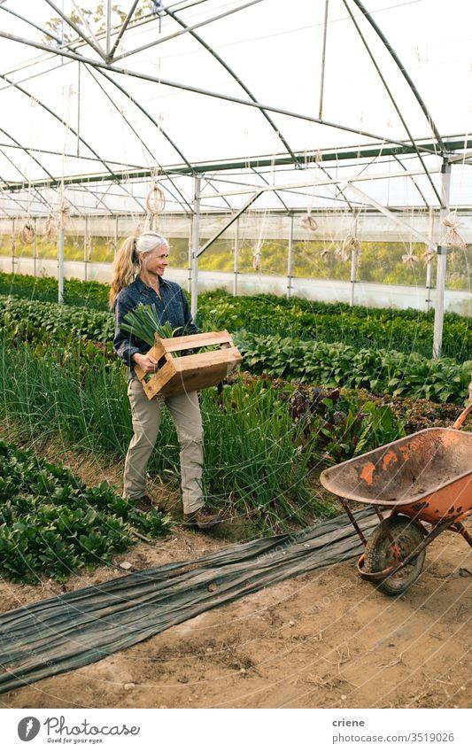 Bäuerin trägt Kiste mit frisch gepflücktem Gemüse im Gewächshaus Kasten nachhaltig Frau produzieren Garten Landwirt Natur grün Ernte organisch Schubkarre