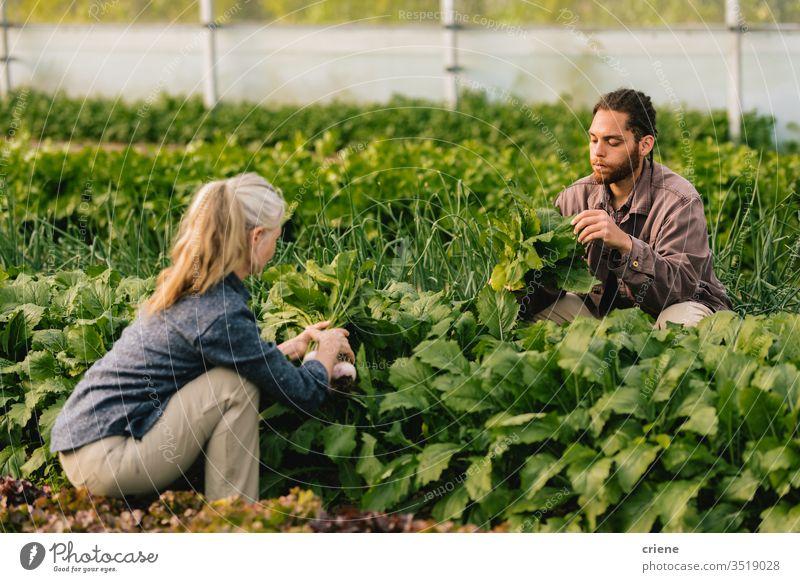 Zwei Arbeiter pflücken Bio-Gemüse im Gewächshaus nachhaltig Frau produzieren frisch Garten Landwirt Natur grün Ernte organisch Mann Bauernhof Ackerbau