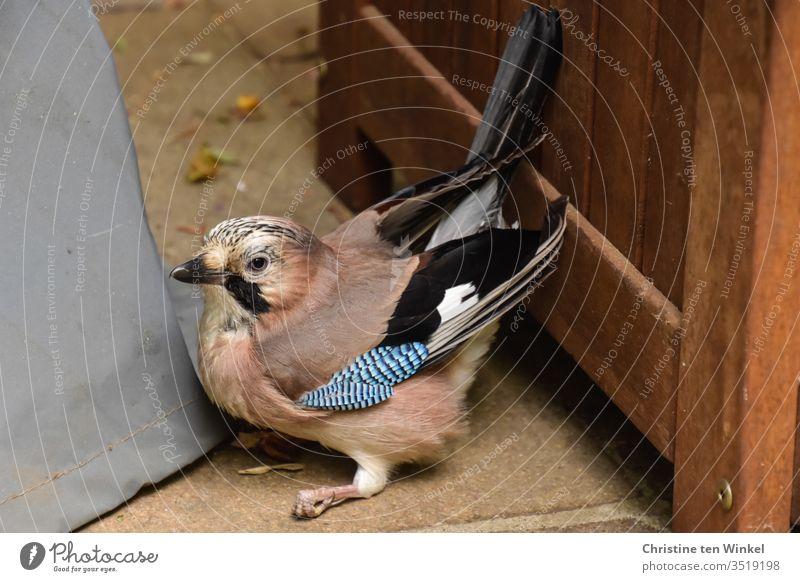 Ängstlicher und verwirrter Eichelhäher / Garrulus glandarius sitzt in einer Terrassenecke auf dem Boden Wildvogel Rabenvogel Singvogel Vogel Tier Natur Wildtier