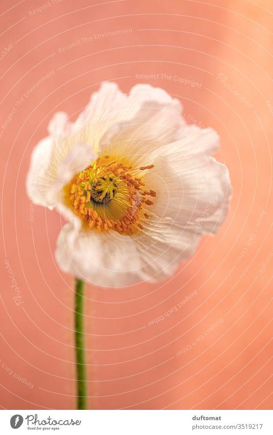 weiße Mohn-Blüte vor orangenem Hintergrund, Makroaufnahme Mohnblume Klatschmohn mohnblumen Natur Papaver rhoeas isoliert Blume Balkon Pflanze Sommer Mohnblüte