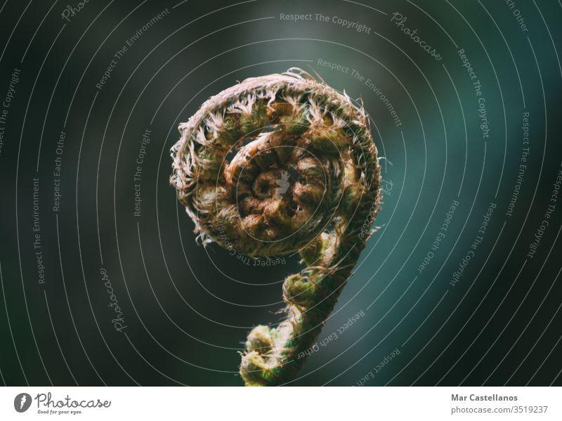 Spiralfarntrieb. Selektiver Fokus. Makro. Raum kopieren. Wurmfarn Spirale Blütenknospen Unschärfe Kopie Frühling Flora Leerkopie Botanik Wachstum Entwicklung
