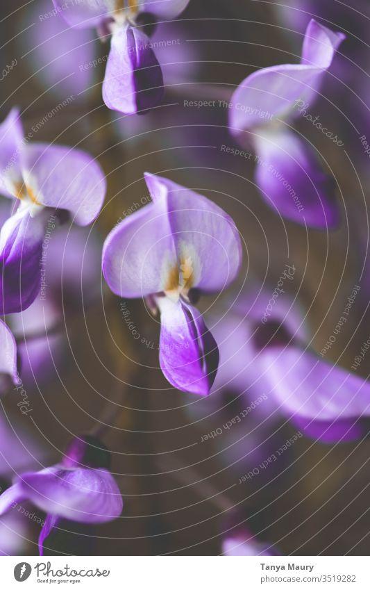 Nahaufnahme einer violetten Glyzinie Glycin grün Natur im Garten Frühling Pflanze Reben Botanik Blühend Makroaufnahme Blume Blüte schön filigran Blütenstempel