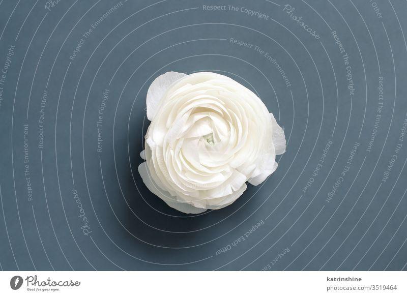 Cremefarbene Hahnenfußblume auf grauem Hintergrund Blume Sahne weiß-grau dunkelgrau Ranunculus Frühling romantisch Zusammensetzung Rosen Draufsicht oben Konzept