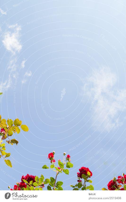 Ranke, Zweig, Ast vom Rosenstrauch mit roten Blüten, grünen Blättern, wachsen dekorativ im Garten, in der Natur, vor blauem Himmel. Schönes Motiv als Dekoration, Verzierung für Muttertag, Ostern, Valentinstag, Hochzeit, Geburtstag und andere Feste, Feiern.