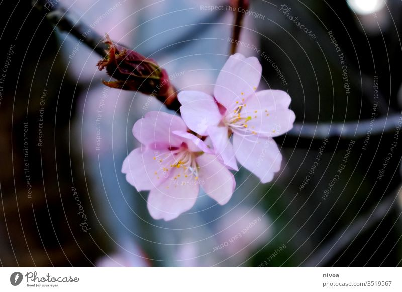 rosa Apfelblüte Blütenpflanze Frühling Stimmung romantisch Natur schön Schönheit geheimnisvoll Ast Blütenblatt Blütenblätter Hintergrund geblümt natürlich