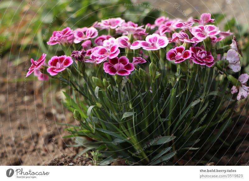 Frühlingsblumen rosa Pflanze Natur Blume Blüte Farbfoto Blühend Frühlingsfarbe Nahaufnahme Menschenleer Außenaufnahme Tag Blütenblatt Garten schön