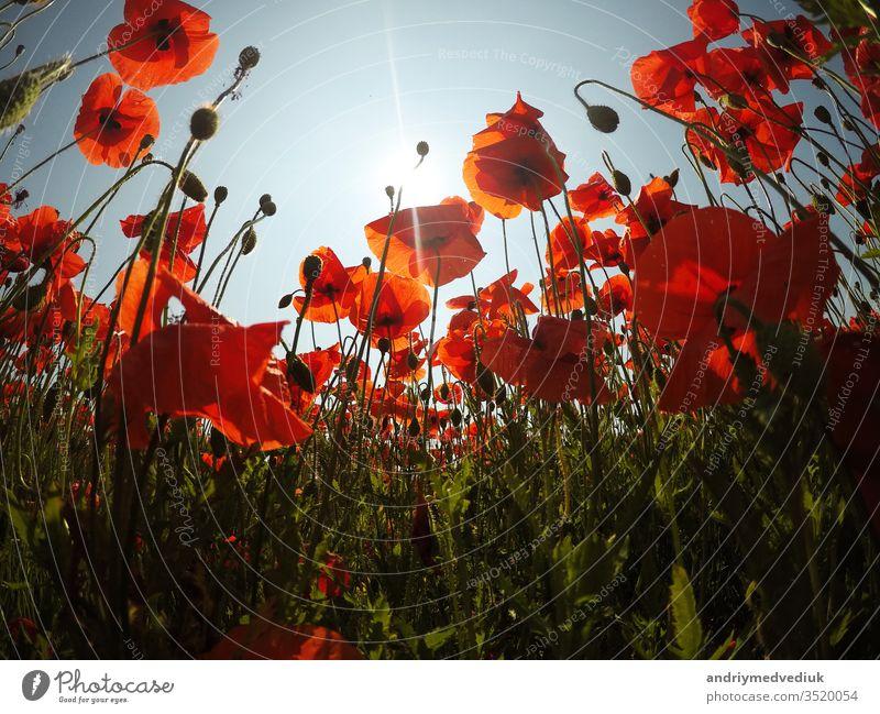 rote Mohnfeldszene am frühen Morgen. Mohn auf dem Feld Blume hell Natur Sommer Blütezeit blau Abend Gras im Freien Himmel Sonne Sonnenlicht Sonnenschein