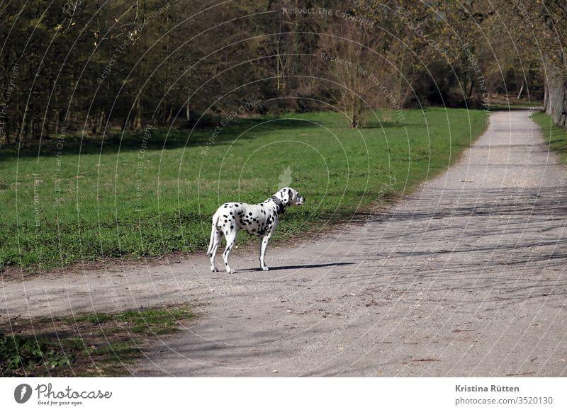 dalmatiner wartet am spazierweg hund rassehund tier haustier gefleckt gepunktet getupft weiß schwarz hunderasse draußen natur kreuzung gassi gassi gehen