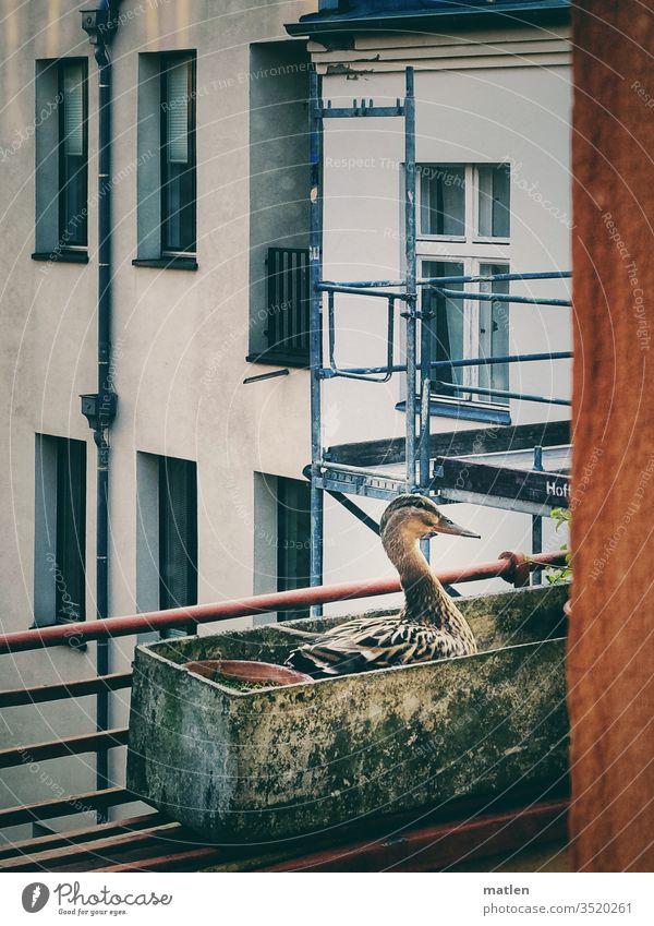 Entenhausen Haus Gerüst Balkonien brüten Fenster Menschenleer Visavis Stadt Natur