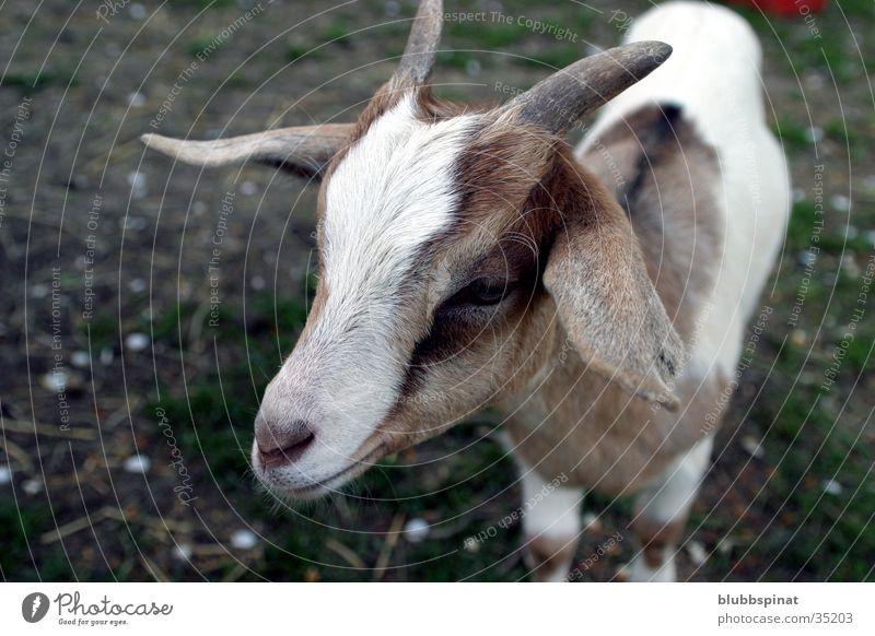 Lilly Ziegen Tier Horn scheckig Detailaufnahme