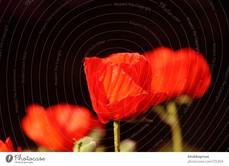 (Red) Mohn Pflanze rot Garten Hintergrundbild