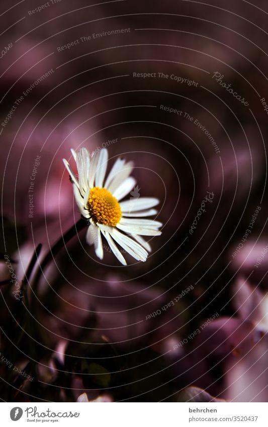 ein blümchen für die mamis Gänseblümchen Blume Blüte Wiese Garten Blütenblatt klein zart niedlich hübsch Sommer Frühling Pflanze Natur Außenaufnahme Gras