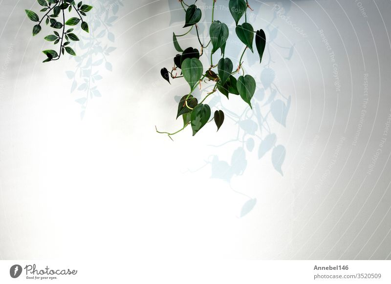 Hängepflanze Green Ivy auf weißer Wand in modernem Haus mit dunklen Schatten, minimal heller Hintergrund Pflanze Natur heimwärts grün Dekoration & Verzierung