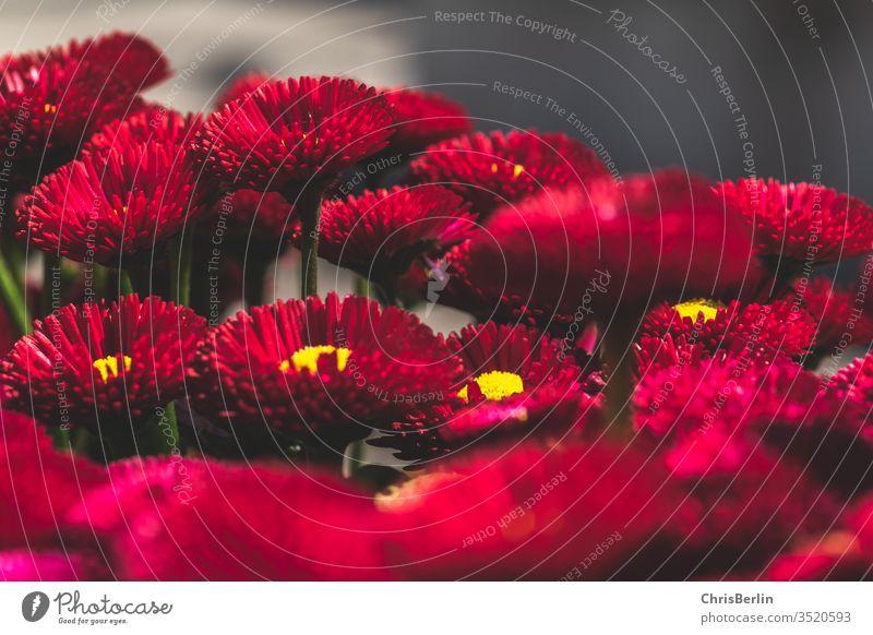 rote Gänseblümchen viele Nahaufnahme Frühling Blume Blühend Bellis Bellis perennis Blüte Pflanze Natur Farbfoto Außenaufnahme Schwache Tiefenschärfe
