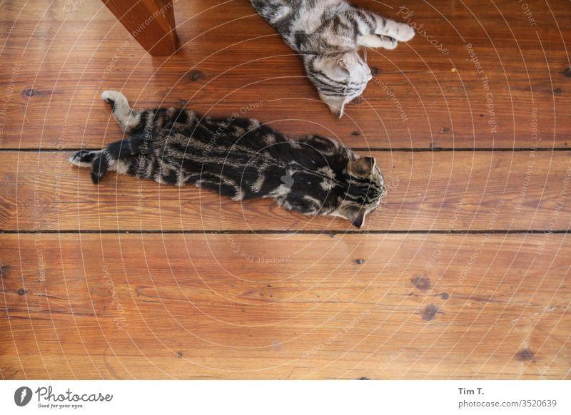 Katzen home Katzenbaby Kater Cat cats zuhause Haustier Tier Farbfoto niedlich schön grau Hauskatze Fell Tierporträt Tierjunges Tag Tierliebe klein kuschlig