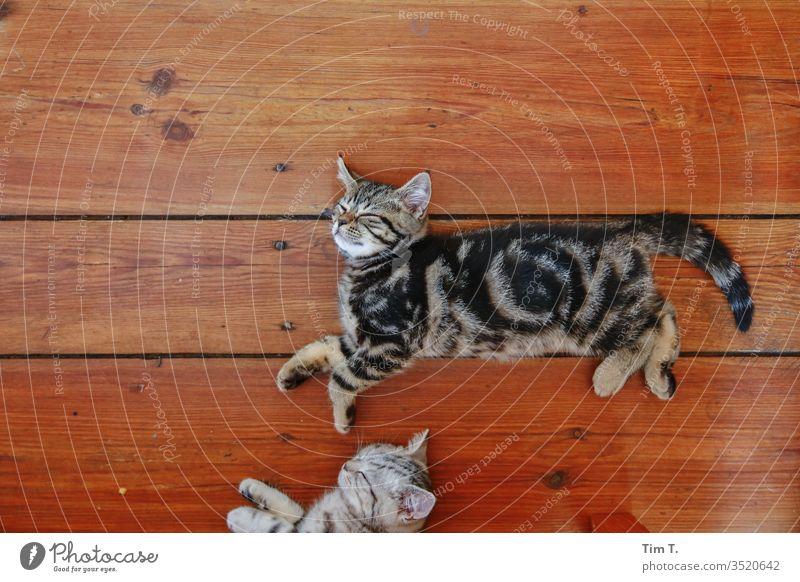 Schlafen schlafen träumen Katzenbaby Kater Holzdielen kein Mensch da Haustier Tier Farbfoto niedlich Tierporträt Tierjunges Innenaufnahme Tiergesicht kuschlig